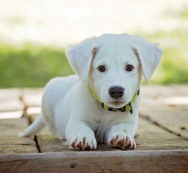 Name weisser Hund